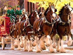 Famous Budweiser Clydesdale Team To Visit Sunset Speedway Park On Thursday June 4th